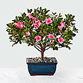 Blooming Azalea Bonsai