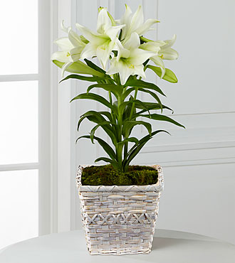 FTD Spring Blessings Easter Lily