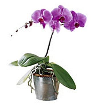 The FTD&reg; Phalaenopsis Orchid Plant