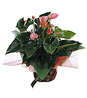 Anthurium Plant