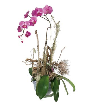 Phalaenopsis Orchid Plant