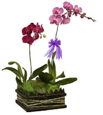 Phalaenopsis Orchid Plants