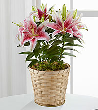 Sweet Spring Stargazer Lily Plant