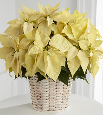 The White Poinsettia Basket by FTD (Lg)
