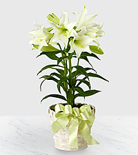 The FTD ® Easter Lily Plant