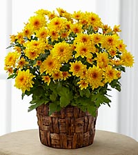 The FTD ® Chrysanthemum