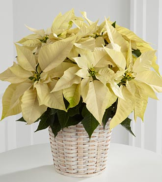 FTD Flowers White Poinsettia Basket (Sm)