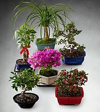 Bonsai of the Month Club