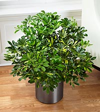 The Schefflera Arboricola by FTD ® - CONTAINER INCLUDED
