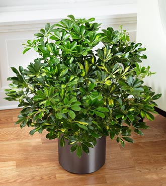 The Schefflera Arboricola by FTD&reg; - CONTAINER INCLUDED