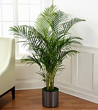 The Palm Plant by FTD ® - CONTAINER INCLUDED