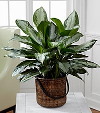 The Chinese Evergreen Plant - BASKET INCLUDED