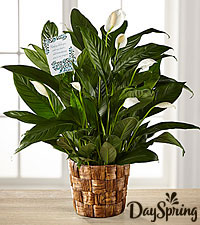 DaySpring ® Sincere Sympathies Peace Lily