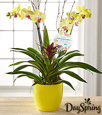 DaySpring ® Flowering Faith Orchid