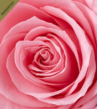 The Pink Keepsake Rose&trade; by FTD&reg; - Single Stem, No Vase