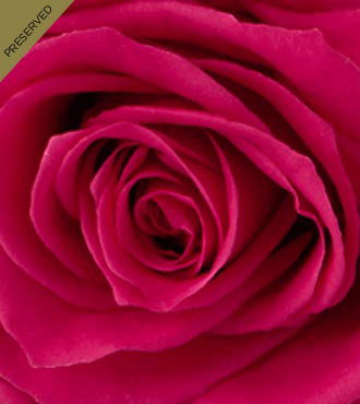 The Hot Pink Keepsake Rose™ by FTD® - Single Stem, No Vase