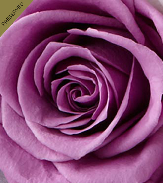 The Lavender Keepsake Rose&trade; by FTD&reg; - Single Stem, No Vase