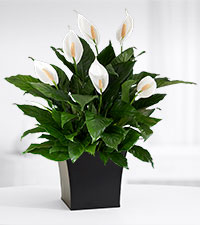 Touched by Peace Lily Plant
