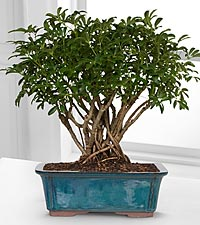 Schefflera - The Indestructible Bonsai