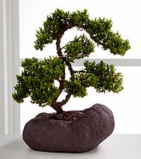 Stunning Summits Green Mound Juniper Bonsai