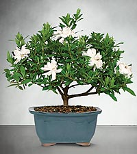 Blossoming Abundance Gardenia Bonsai