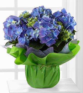 Blue Beauty Hydrangea