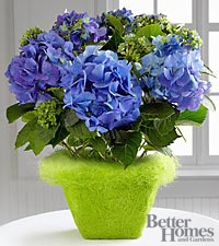 The FTD ® Blue Skies Hydrangea Plant by Better Homes and Gardens ®