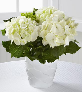 FTD Flowers Perfect Clarity Hydrangea Plant by Better Homes and Gardens