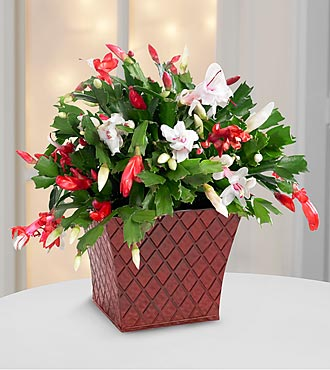 FTD Flowers Peppermint Perfection Christmas Cactus by Better Homes and Gardens