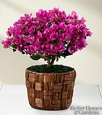 The FTD ® Flowering Fuchsia Bougainvillea Plant by Better Homes and Gardens ®