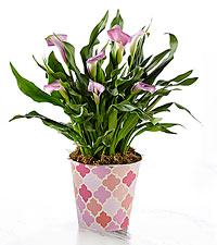Just for Her Calla Plant