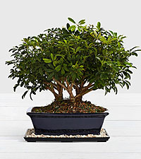 Hawaiian Umbrella Bonsai