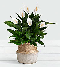 Deluxe Sympathy Peace Lily