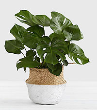 Monstera– Floor Plant
