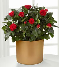 Sheer Elegance Mini Rose Plant