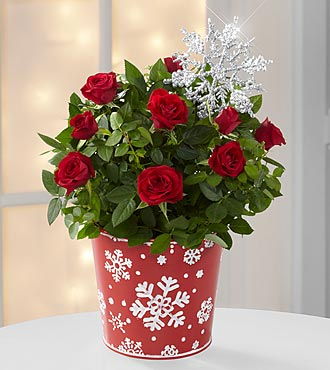 Christmas Plants Snowfall Celebration Holiday Mini Rose