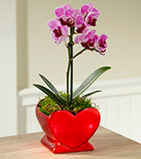 Heart Full of Love Valentine 's Day Orchid Plant