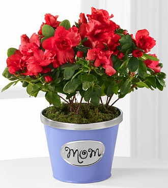Thank You Mom Azalea Plant - 4.5-inch
