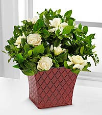 Fresh Looks Gardenia Plant - 4.5-inches