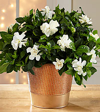 Fresh Looks Gardenia Plant - 6.5-inches