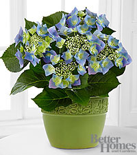 The FTD ® Serene Skies Lacecap Hydrangea Plant by Better Homes and Gardens ®