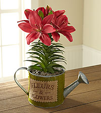 Paris Pink Asiatic Lily Plant