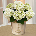 Winter Starshine Holiday Hydrangea Plant