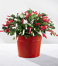 Make It Merry Christmas Cactus