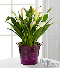 The FTD ® Sugarplum Chic Holiday Calla Lily Plant by Better Homes and Gardens ®