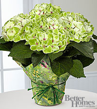 The FTD ® Jade Dreams Nobless Hydrangea by Better Homes and Gardens ®