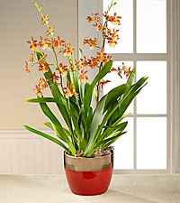 Endless Autumn Orchid Plant