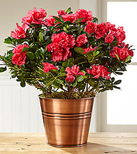 Copper Cool Harvest Azalea Plant