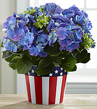 Star Spangled Blooms Hydrangea