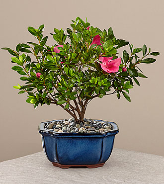 Blooming Azalea Bonsai - 8-inch diameter Bonsai